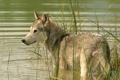 Grijze wolf die zich in water bevindt stock foto