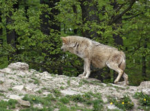 Grijze Wolf op kleine heuvel Stock Afbeelding