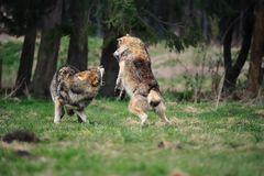 Grijze wolf (wolfszweer Canis) Stock Afbeelding
