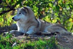 Grijze wolf (wolfszweer Canis) stock afbeeldingen