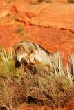 Grijze Wolf (wolfszweer Canis) Royalty-vrije Stock Foto