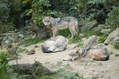 Grijze wolfs stock foto