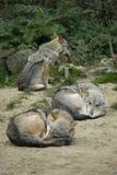 Grijze wolfs stock fotografie