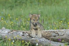 Grijze wolfswelp Stock Foto
