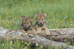 Grijze wolfswelpen stock foto