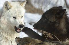 Grijze wolven stock fotografie