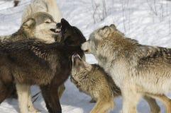 Grijze wolven royalty-vrije stock foto's
