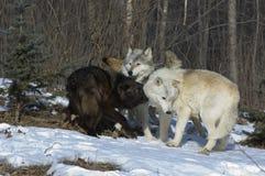Grijze wolven royalty-vrije stock afbeelding
