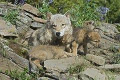 Grijze wolven bij holplaats Stock Afbeelding