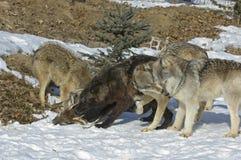 Grijze wolven op doden stock afbeelding