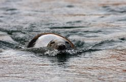 Grijze Zeehond, Grey Seal, Halichoerus-grypus royalty-vrije stock fotografie