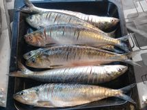 grillat nytt för fisk Royaltyfri Foto