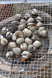 Grilled Blood Clam Royalty Free Stock Photography
