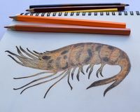 Grilled Shrimp drawing on the drawing book and colored pencils. Homework of the student Stock Photography