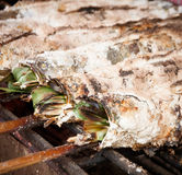 Grilled Striped snakehead fish Royalty Free Stock Images