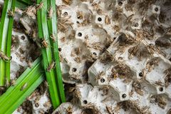 Grilli, insetti del pollame che sono alimentati per friggere e mangiare come spuntino Fotografie Stock