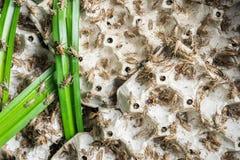Grilli, insetti del pollame che sono alimentati per friggere e mangiare come spuntino Immagini Stock
