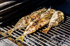 Grilling fish on a bbq barbecue grill over hot coal. Preparing and roasting Salema porgy, Sarpa salpa or sea bream fish on a barbecue in a bbq fireplace in royalty free stock photo