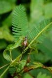 Grillo común de Bush en Forest Fern Leaves en selva Fotografía de archivo libre de regalías