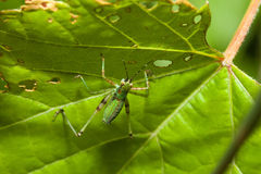 Grillo de Bush (Tettigoniidae) Fotografía de archivo