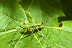 Grillo de Bush (Tettigoniidae) Imagen de archivo libre de regalías