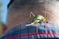 Grillo verde curioso imagen de archivo libre de regalías