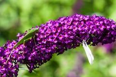 Grillo y la mariposa Imágenes de archivo libres de regalías