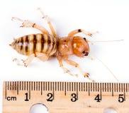 Grillon de Jérusalem, scarabée de pomme de terre - Stenopelmatidae de famille Le v images stock
