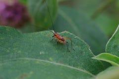 Grillon en gros plan sur la feuille verte, petit grillon rouge, macro rouge de cricket image libre de droits