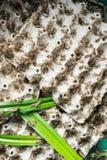 Grillons, insectes de volaille qui sont alimentés pour faire frire et manger comme casse-croûte Photographie stock libre de droits