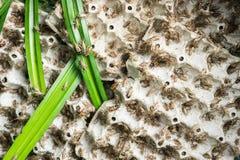 Grillons, insectes de volaille qui sont alimentés pour faire frire et manger comme casse-croûte Photos libres de droits