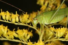 Grilo de Bush (falcata de Phaneroptera) Imagens de Stock Royalty Free