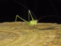Grilo de Bush, katydid, Tettigoniidae Imagem de Stock
