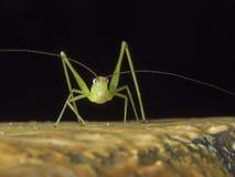 Grilo de Bush, katydid, Tettigoniidae Fotos de Stock
