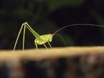 Grilo de Bush, katydid, Tettigoniidae Fotografia de Stock