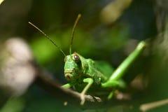 Grilo verde misterioso 1 Imagem de Stock