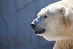 Grim Polar Bear Royalty Free Stock Photo
