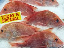 Red Snapper Fish, Sydney Fish markets, Australia. Grim or sad expressions on freshly caught whole red snapper fish on crushed ice at the Sydney Fish Markets stock photos