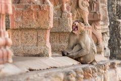 Grimace bestiale d'un singe Image libre de droits