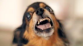 Grimace d'un petit chien banque de vidéos