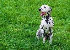 Grimace dalmatienne Photo stock