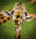 Grimace of a giraffe, Valencia, Spain. Grimace of a giraffe. Manners, behavior, communication Stock Image