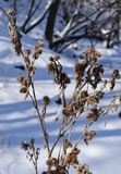 Grimmige dode installatie in de sneeuw Stock Foto's