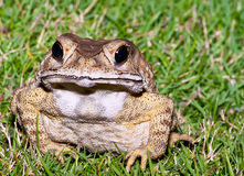 Grimmly frog Stock Photo