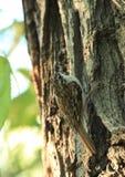 Grimpereau des bois. photographie stock