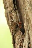 Grimpereau des bois. Images stock