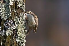 Grimpereau des bois, Certhia Familiaris Images libres de droits