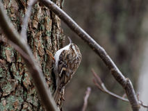Grimpereau des bois - familiaris de Certhia Photo stock
