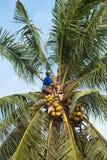 Grimpeur de noix de coco Photos libres de droits