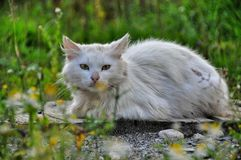 Grimy white cat Royalty Free Stock Photography